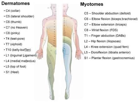 Dermatomes, myotomes and reflexes! What's it all about?